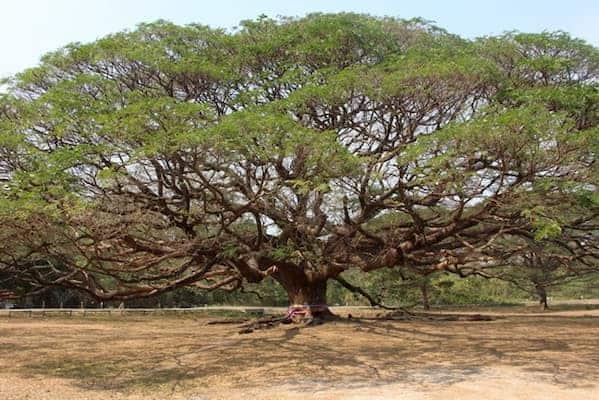 ต้นจามจุรียักษ์-โรงแรม 5 ดาว กาญจนบุรี-itravel